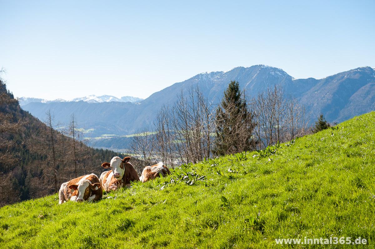 15.04.2015 - Kühe an der Jausenstation Schrofen