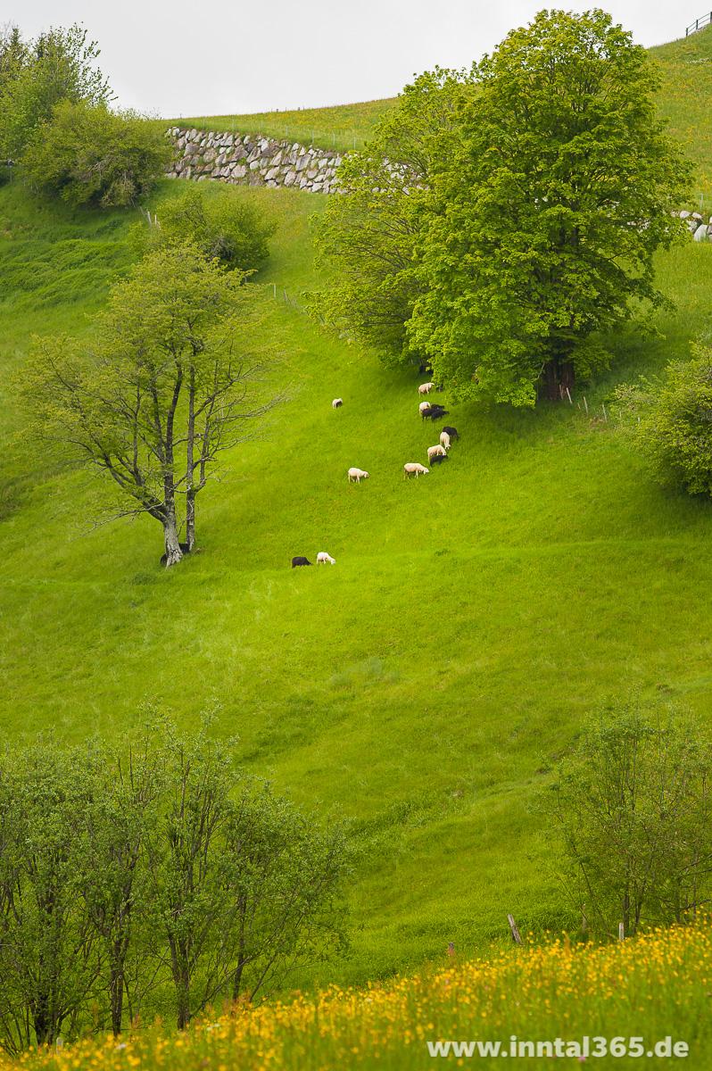 24.05.2015 - Schafe bei der Arbeit