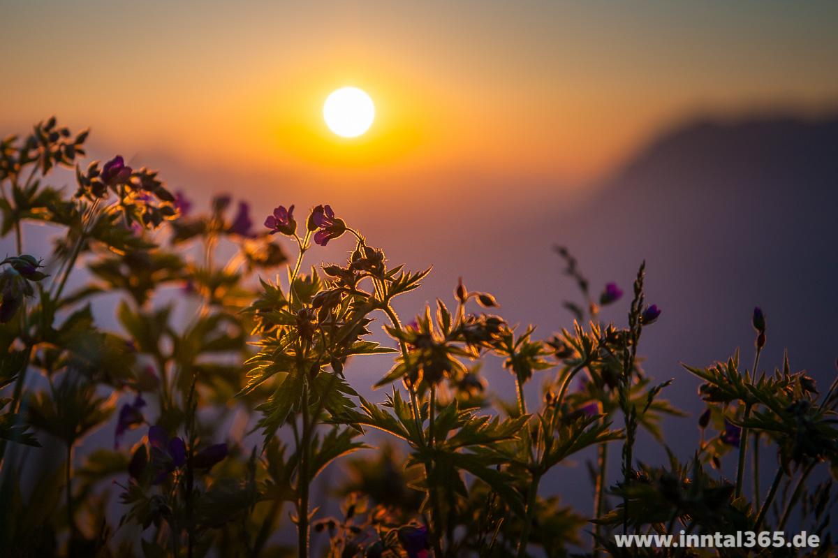 06.06.2015 - Pflanzen in der Morgensonne auf dem Pendling