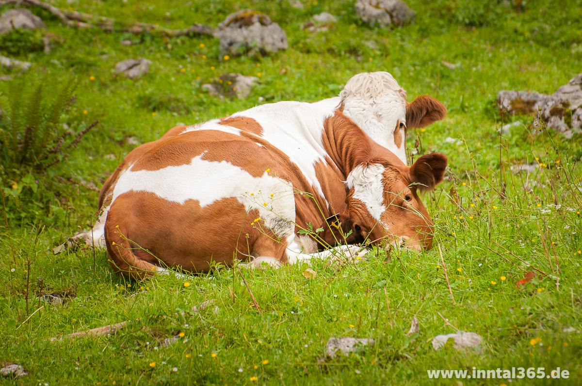 23.07.2015 - Kühe an der Winkelalm