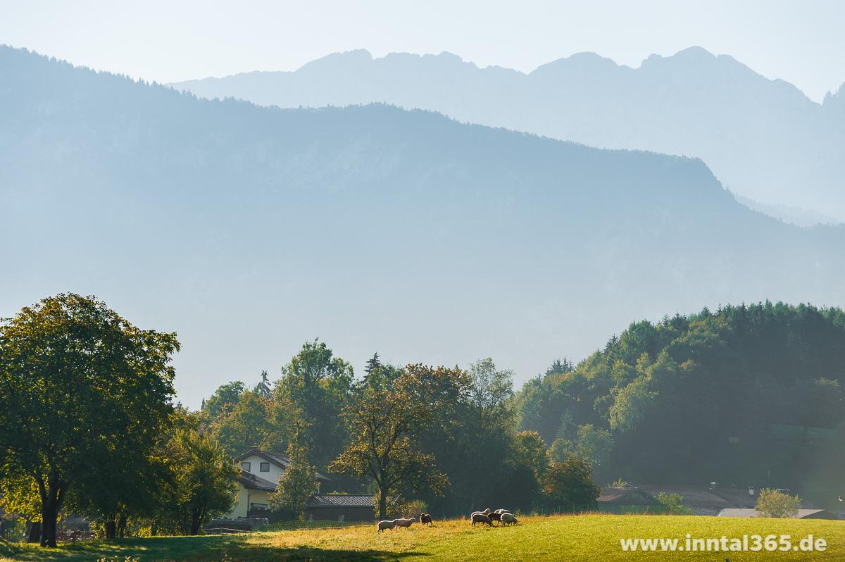 04.10.2015 - Schafe beim Frühstück vor dem Kaisergebirge