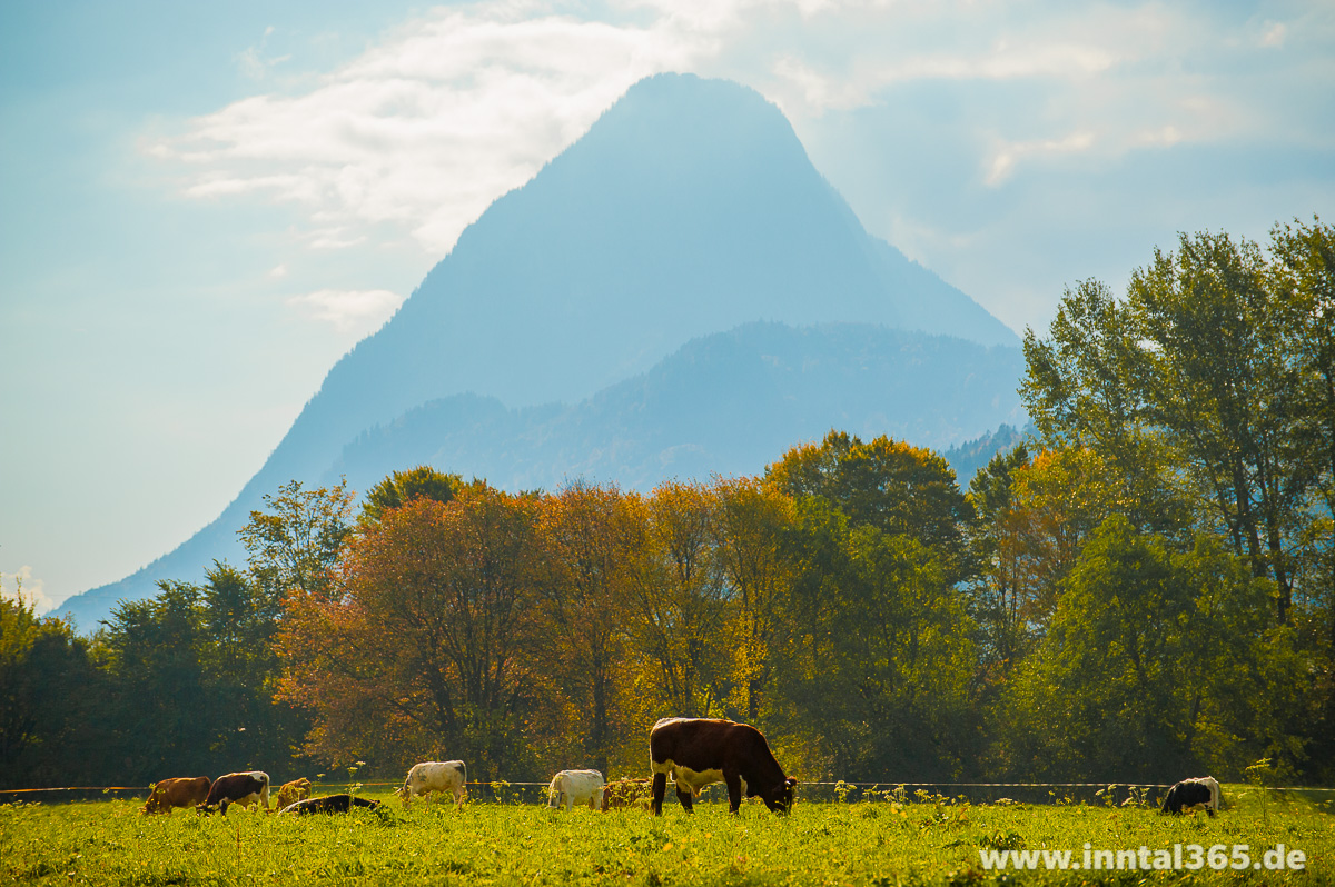 14.10.2015 - Kühe auf der Herbstweide